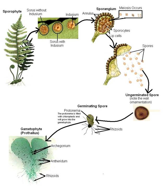 Introduction To Plant Lifecycles