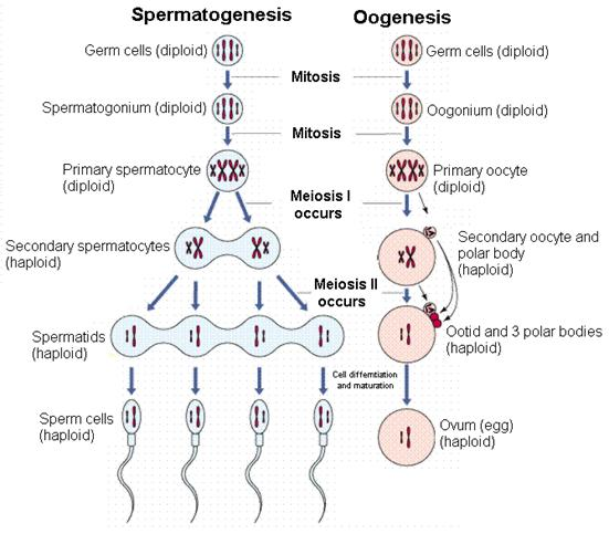 Chapter 5 principles of genetics a review gamete productionf ccuart Choice Image